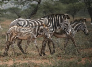 Grevy's zebra mare and foal.