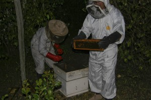 Collecting honey
