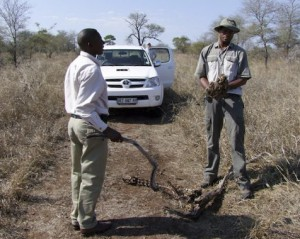 Examining leopard carcass