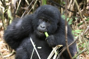 A young goirlla feeding on bamboo in Rwanda.