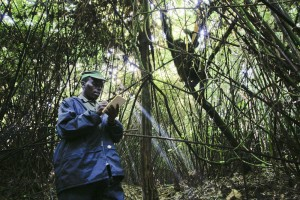 An IGCP-trained ranger monitoring gorillas.