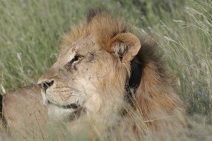 Lion with radio collar in Samburu