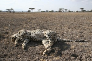 Dead cheetah in Buffalo Springs NR