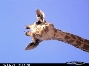 Camera trap photo of a curious giraffe