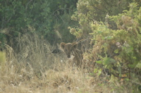 New lion cubs in Samburu National Reserve. The reserve has not had cubs in over two years.