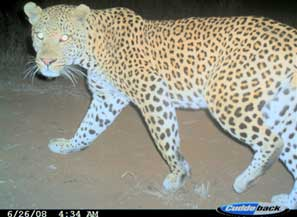 Leopard taken by a camera trap