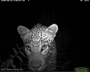 A leopard captured by one of the camera traps that got burnt.