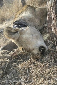 A lion killed by a wire snare.