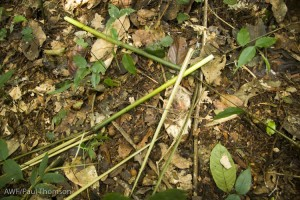 Fresh signs of bonobos: discarded Haumania shoots.