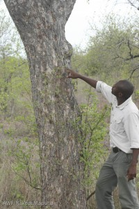 Clement examining the marula tree.