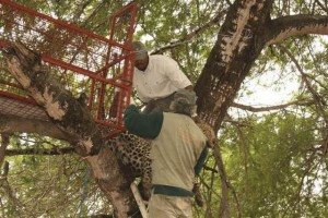 Removing the leopard from the trap requires a lot of strength (70 kg cat_ an X-cat).