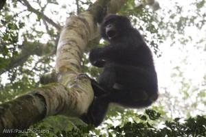 A wild bonobo!