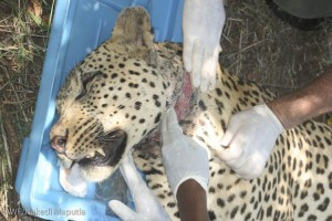 Treating the leopard's wound from the snare.