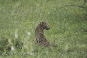 sick-leopard