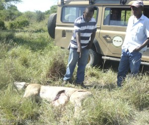 A research lion killed in retaliation for killing a cow.