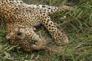The leopard waking up with his new tracking collar.