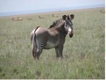 The Grevy's zebra <i>Equus grevyii<i>.