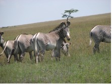 In my blog I'll tell you how I study Grevy's and work to protect them.