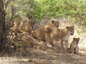 Some of the lions of Tarangire.