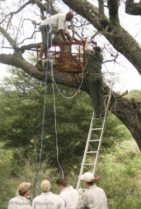 Carefully lowering the captured leopard from the tree.