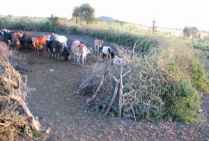 A typical boma made of thorn bush walls for livestock keeping. These bomas are not effective in preventing lion attacks on cattle.