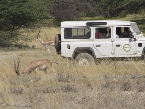 The Grevy's zebra project car drives past some Grant's gazelles. The students and teachers were surprised that wild animals were not running away. Back home, the wild animals would have taken off fast due to harassment and poaching, which our project has been documenting.