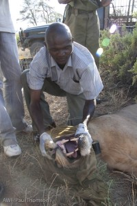 Dr. Stephen Chege examines the lion's mouth. And all those big teeth.