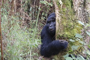 A member of the Nkuringo gorilla group.