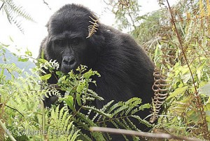 Gorillas feed on a wide variety of vegetation like ferns.