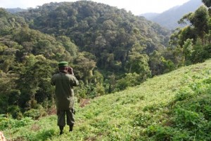 Bwindi Park Warden James Busiku surveying the Kanyamahene sector of the park where the Nshongi group is often found.