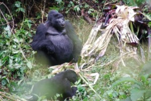 Blackback from Nshongi group takes a break from his wild banana tree feast.