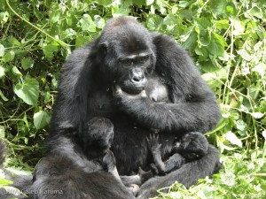 Kwitonda and the healthy gorilla twins. Photo by Caleb Kahima.