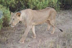 The lion, after waking up, showed off his new research collar, then promptly headed to the bushes to take a nap.