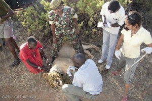The team in action, taking measurements of the sleeping lion.