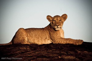 One of Nabo's three cubs, posing on a fallen tree.