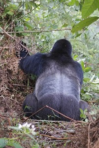 The silverback, Safari, displaying his saddle of silver hair.