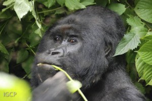 The silverback Humba in Virunga National Park.