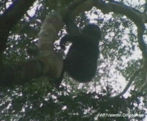 Bonobo spotted in the canopy of the forest