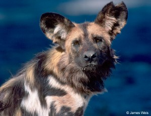 My favorite wildlife specie the African wild dog