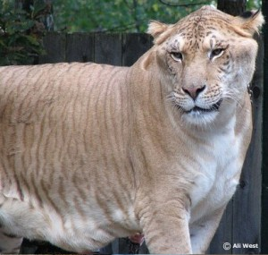 Ligers are a hybrid species created by mating a male Lion with a female Tiger.