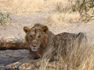 Here's a photo of one of the lions we observed recently in the Maasai Steppe.   <p><a class=