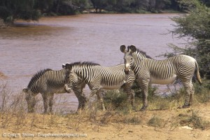 Not a horse but still family: a dazzle of Grevy's zebras