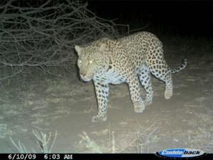 Best looking of the three leopards recently sighted. © AWF